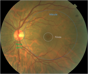 retina descripcion macroscopica
