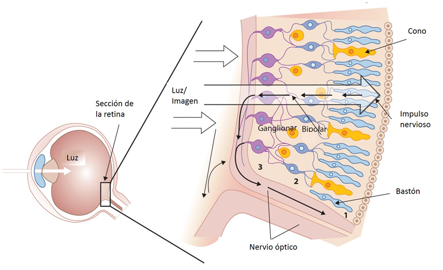 retina descripcion microscopica